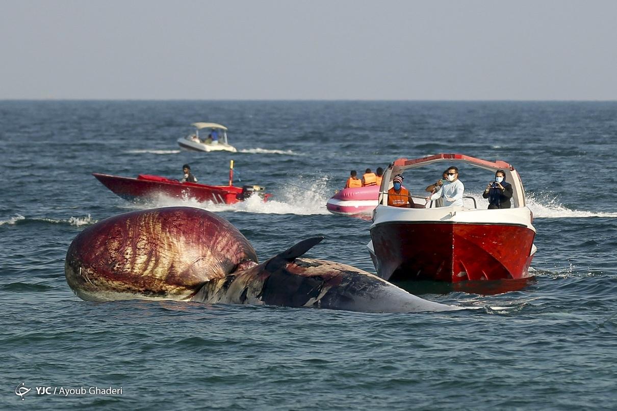مرگ دومین نهنگ به گل نشسته - جزیره کیش