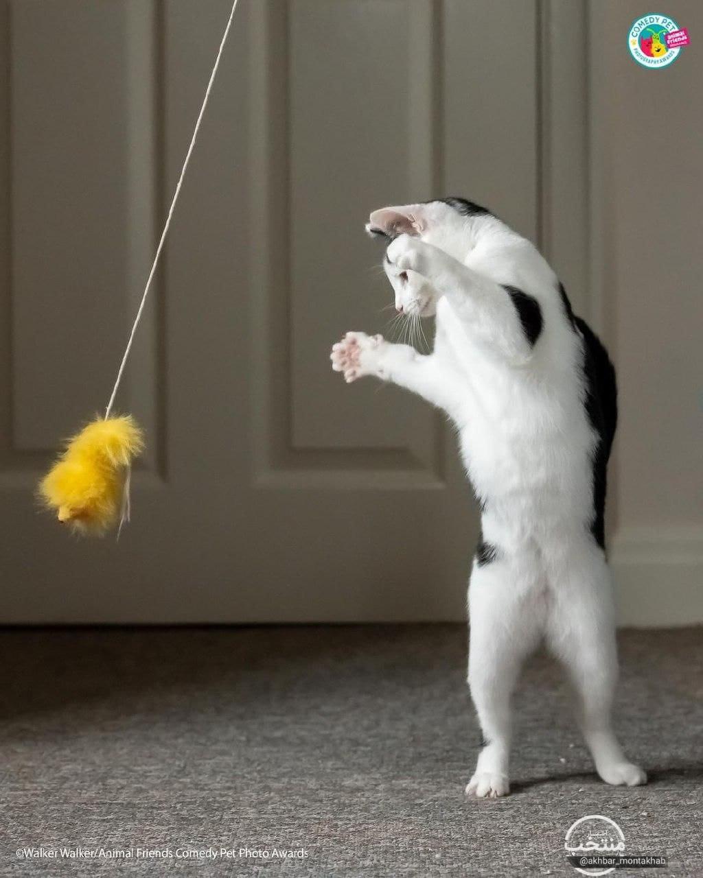 گربه ایستاده