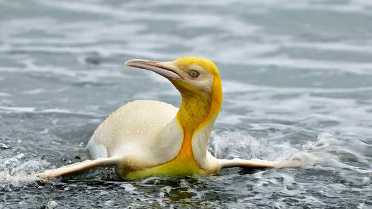 تنها ترین پنگوئن زرد دنیا + عکس