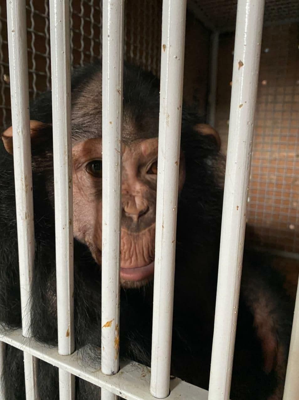 باران شامپانزه