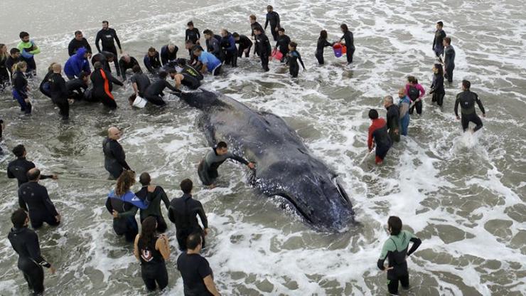 صحنه جالب از تلاش مردمی برای نجات یک نهنگ