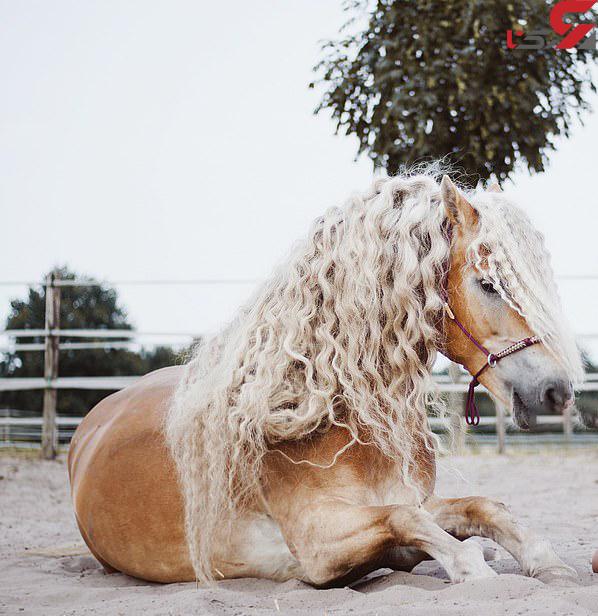 عکس اسب با موهای زیبا (2)