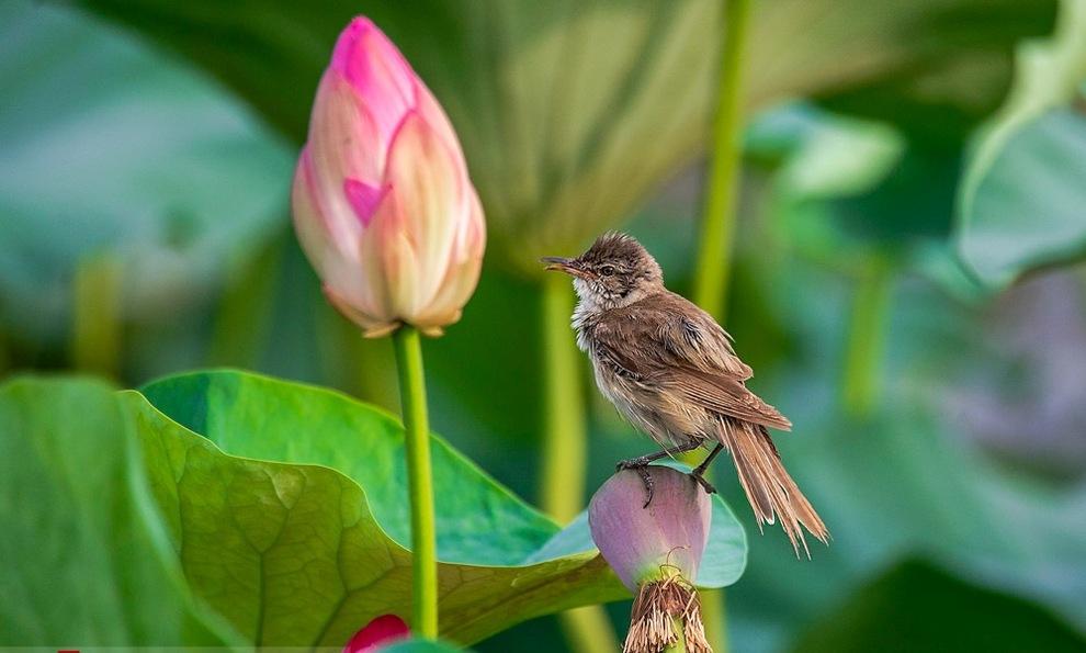 پرنده نیلوفر