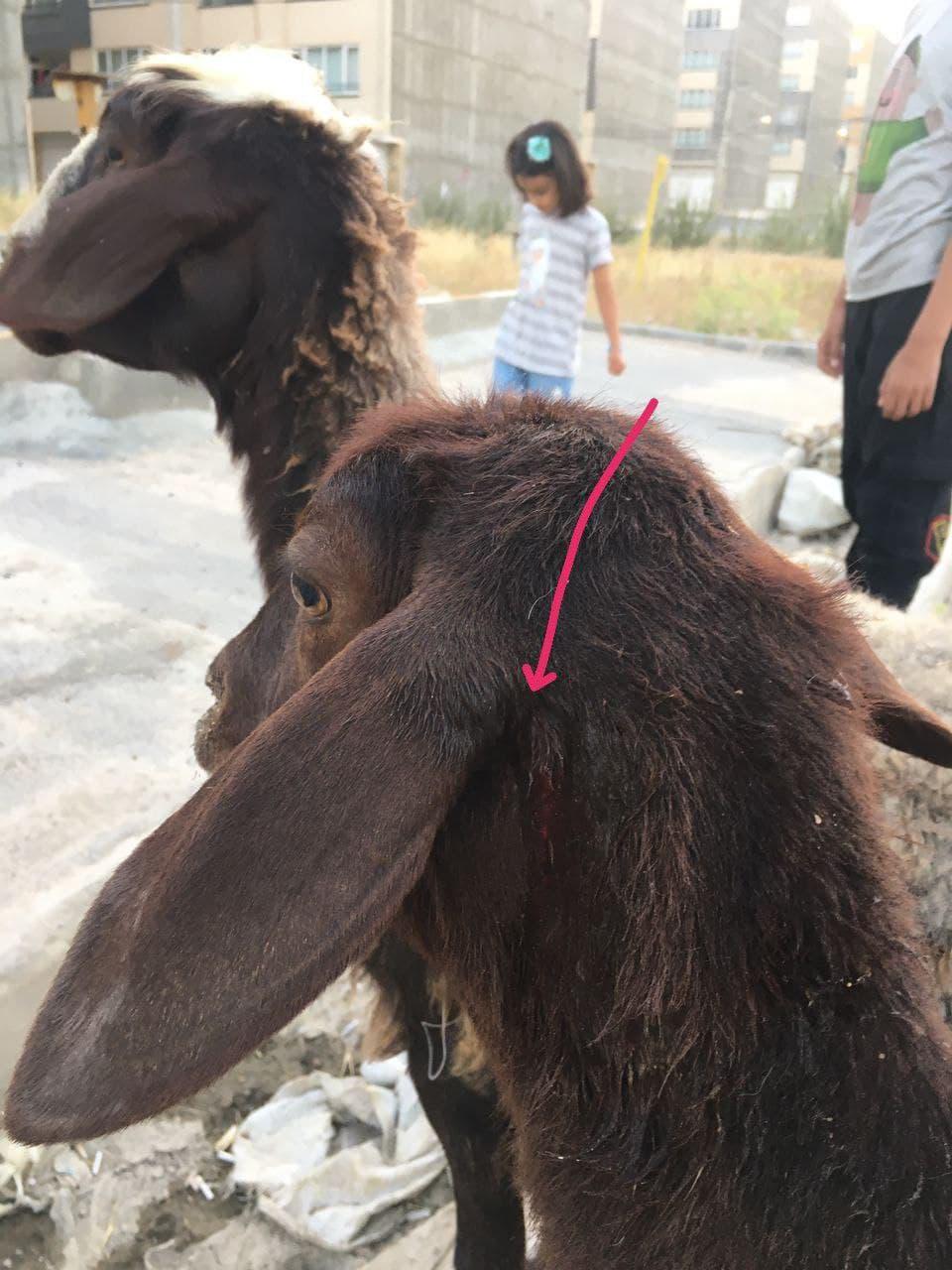 حمله سگهای بلاصاحب به گله گوسفندان