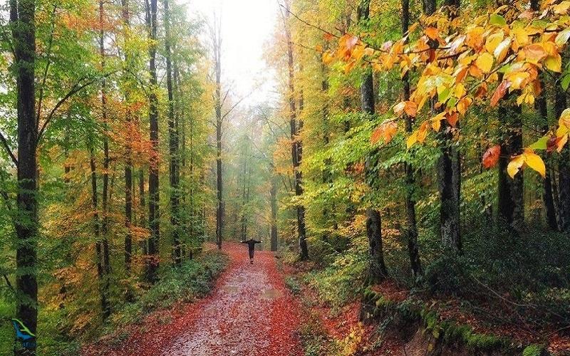 جنگل راش بخشی از جنگل های هیرکانی است
