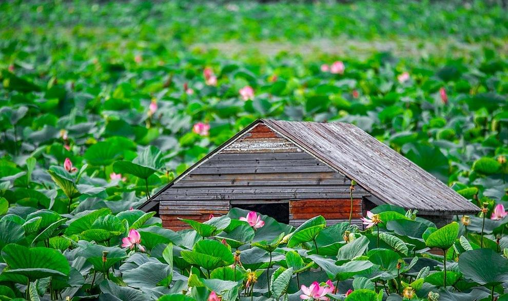 خانه در بین نیلوفرات آبی