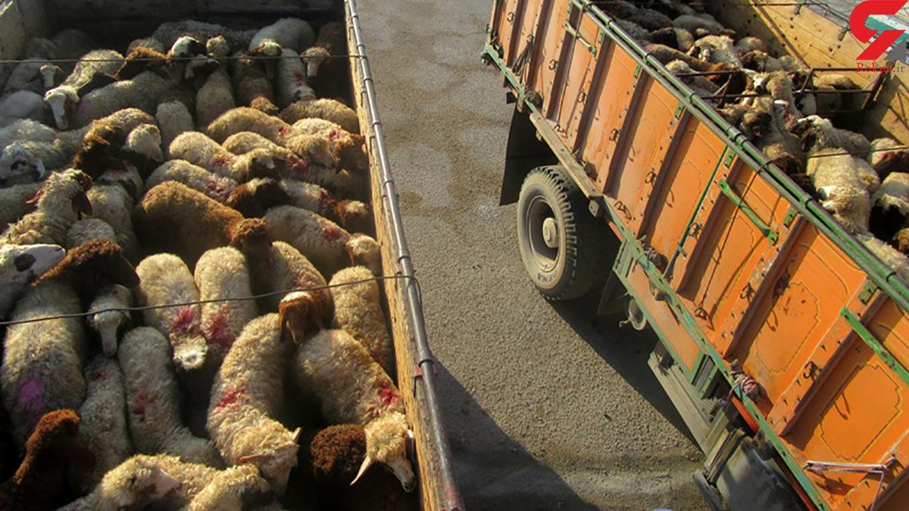 """140 راس گوسفند قاچاق در""""مهر"""" کشف شد"""