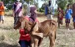 فیلم تولد گوساله پنج پا در یک روستا / روستاییان باور ندارند