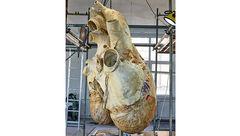 ماجرای آمادهسازی قلب نهنگ به وزن ۲۰۰ کیلوگرم برای نمایش در موزه!