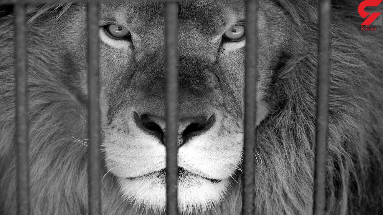 فیلم لحظه حمله شیر عصبانی به یک مرد / در باغ وحش رخ داد
