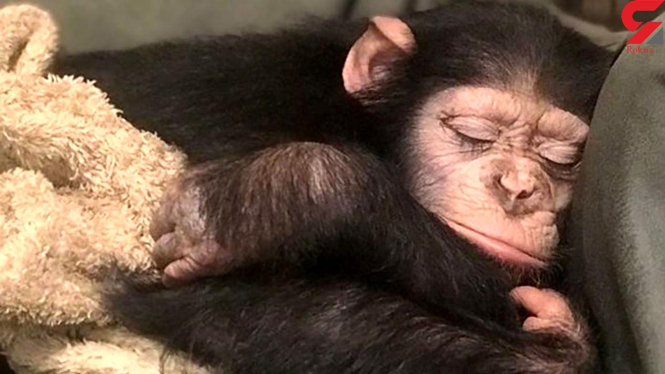 شامپانزه ارم به کنیا انتقال یافت + فیلم