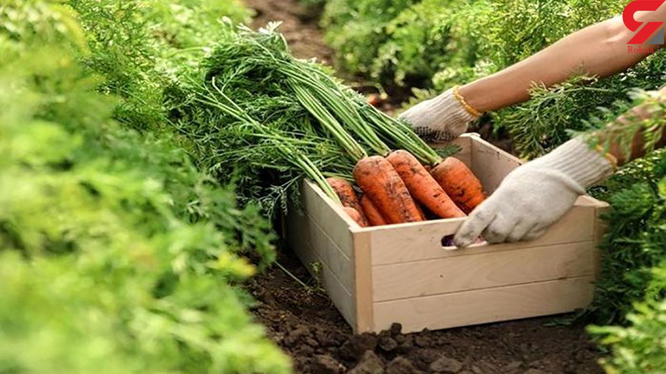 هویج هم گران شد / افزایش قیمت بذر هویج آمریکایی علت گرانی