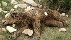 مرگ تلخ خرس مادر در برابر دیدگان دو توله اش/تصادفی که در دالاهو رخ داد