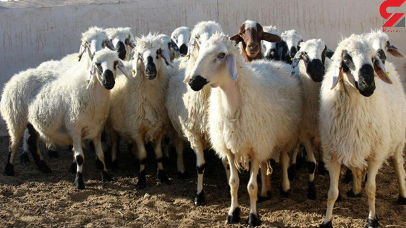 کشف 263 رأس گوسفند قاچاق در آباده