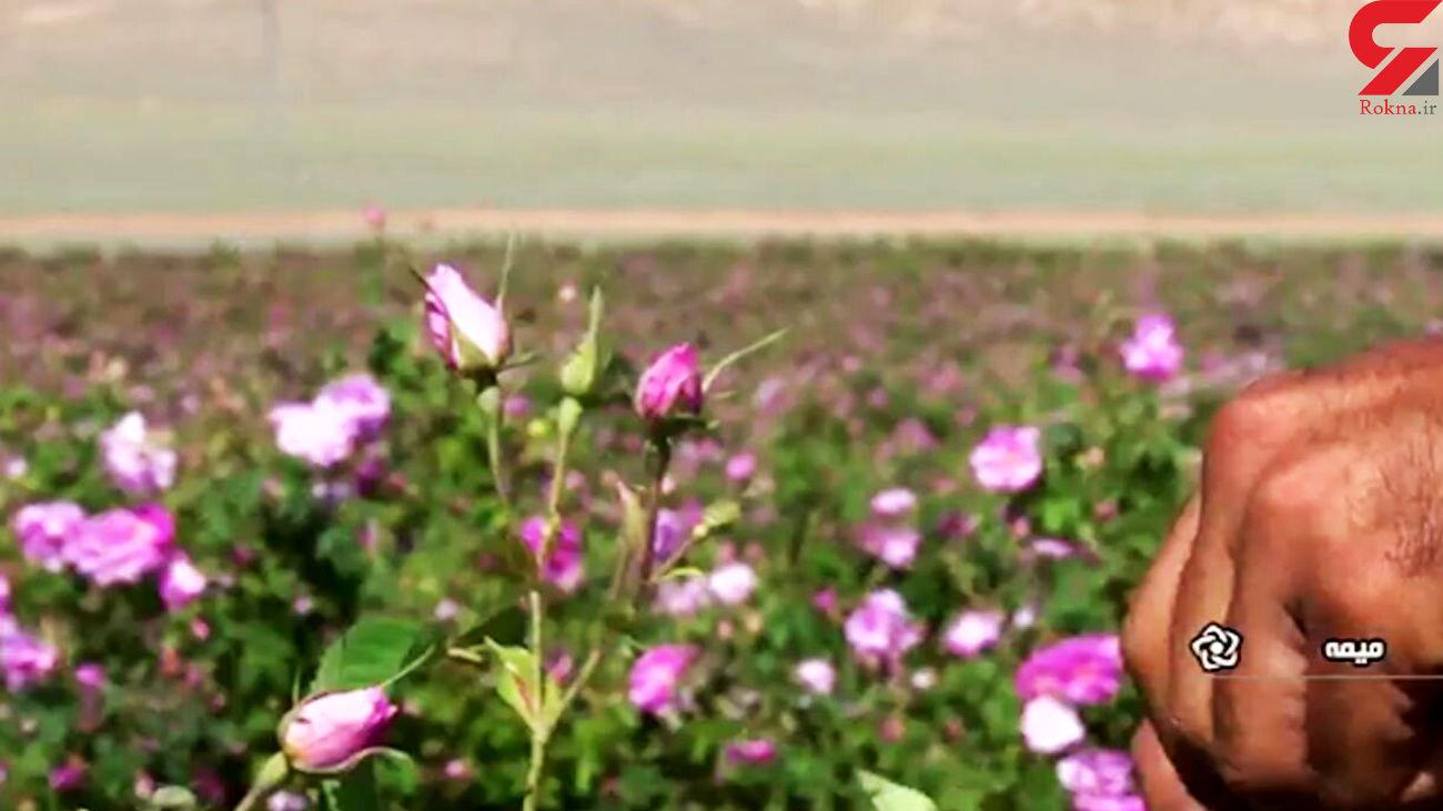 فیلم برداشت گل محمدی از بزرگترین گلستان کشور