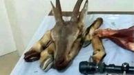 شکارچیان بزکوهی طالقان دستگیر شدند