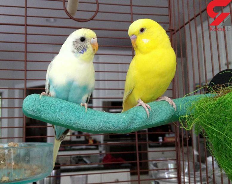 پرندگان خانگی برای سلامت انسان چه خطراتی دارند؟