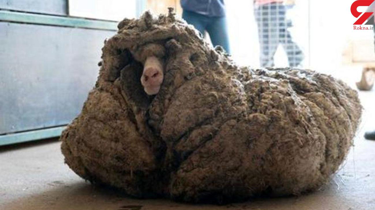 فیلم / پیدا شدن گوسفند گمشده در جنگل با ۳۴ کیلو پشم!