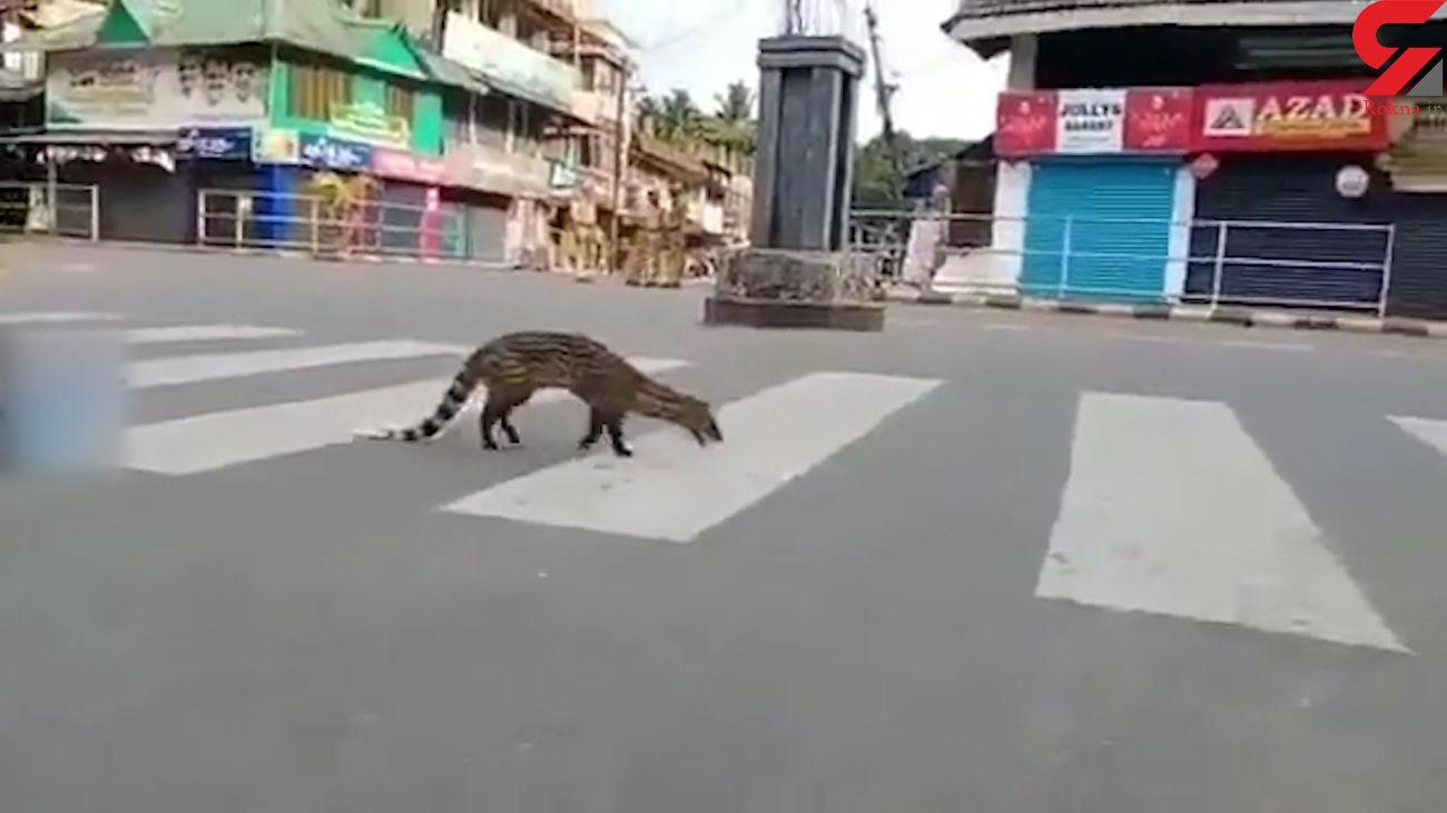 جولان نوعی گربه سان کمیاب در هندوستان + فیلم