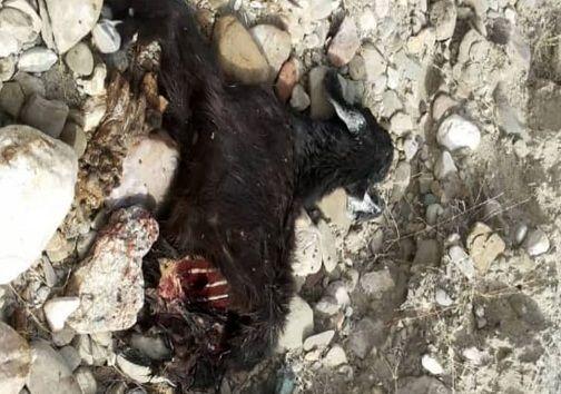 حمله یوزپلنگ به گله گوسفندان در هرمزگان+ تصاویر