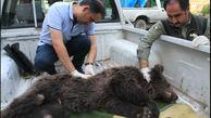 مرگ توله خرس قهوه ای در گرگان / او با شلیک شکارچی فلج شده بود + عکس های تلخ