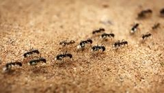 ساخت سم طبیعی برای از بین بردن مورچه ها