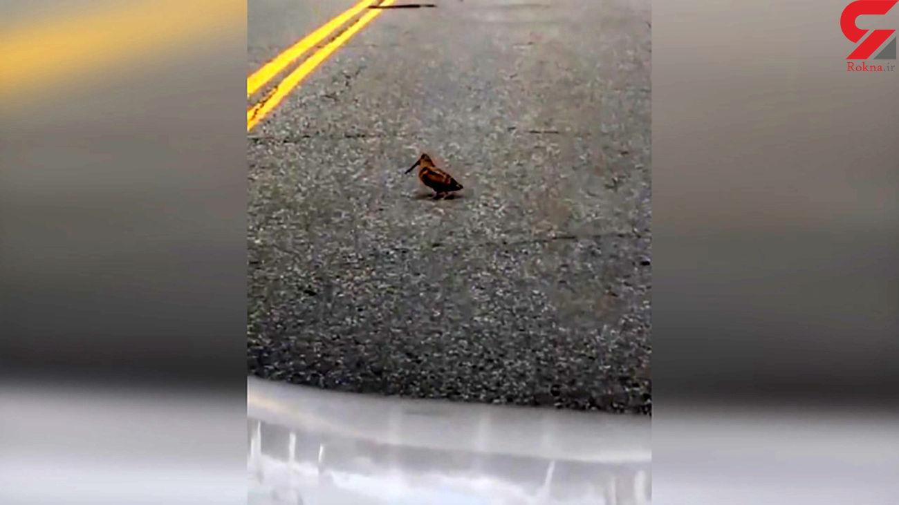 جلب توجه پرنده وسط خیابان + فیلم
