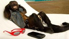 ثروتمندترین میمون جهان و درآمد هنگفتش از هالیوود! / او به آنجلینا جولی میمون ها معروف است! +تصاویر
