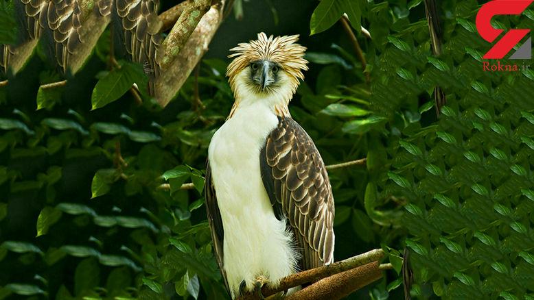 عقاب خنده دار نماد ملی فلیپین