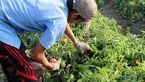 تولید ۲۲ میلیون تن محصول باغبانی در سال۹۶