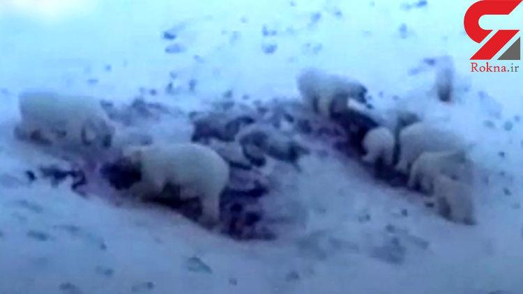 هجوم ۵۶ خرس به یک روستا / اعلان قرمز در روستا + فیلم / روسیه