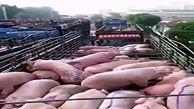 وحشت جدید در چین / شیوع تب خوکی !