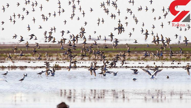 تالاب حلّه بوشهر، میزبان پرندگان مهاجر