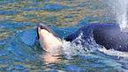 نهنگ مادر 4 روز جسد بچه اش را به دوش کشید