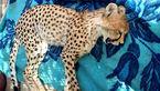 توله یوزپلنگ تصادفی مُرد! + عکس