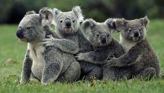 این جانور استرالیایی اثر انگشت دارد+ تصویر