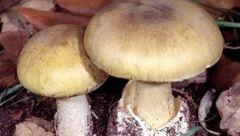 قارچ سمی ۳۶ تن را در سرپل ذهاب مسموم کرد