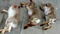 دستگیری 6 شکارچی خرگوش در مراغه