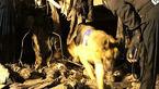 فوری / پارس سگ های زنده یاب نشان از یافتن گرفتار شده ها داد +فیلم و عکس