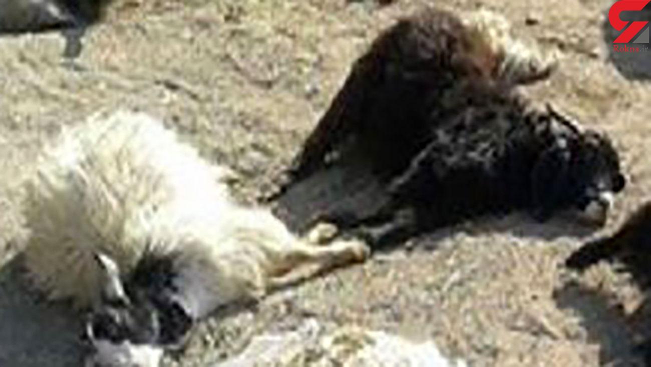 حمله پلنگ وحشی به گوسفندان در بجنورد