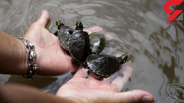 نتیجه تصویری برای صید غیرمجاز لاکپشتهای فراتی توسط صیادان برای عرضه به چینیها