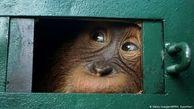 بازگشت پیروزمندانه اورانگوتان به جنگل