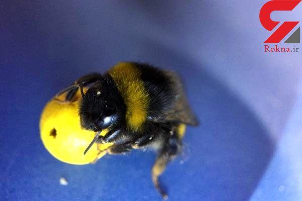زنبورهای عسلی که فوتبال بازی می کنند!