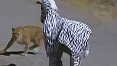 2 مرد با لباس گورخر به قلمروی حیوانات رفتند اما شیرها از آنها پذیرایی کردند+عکس