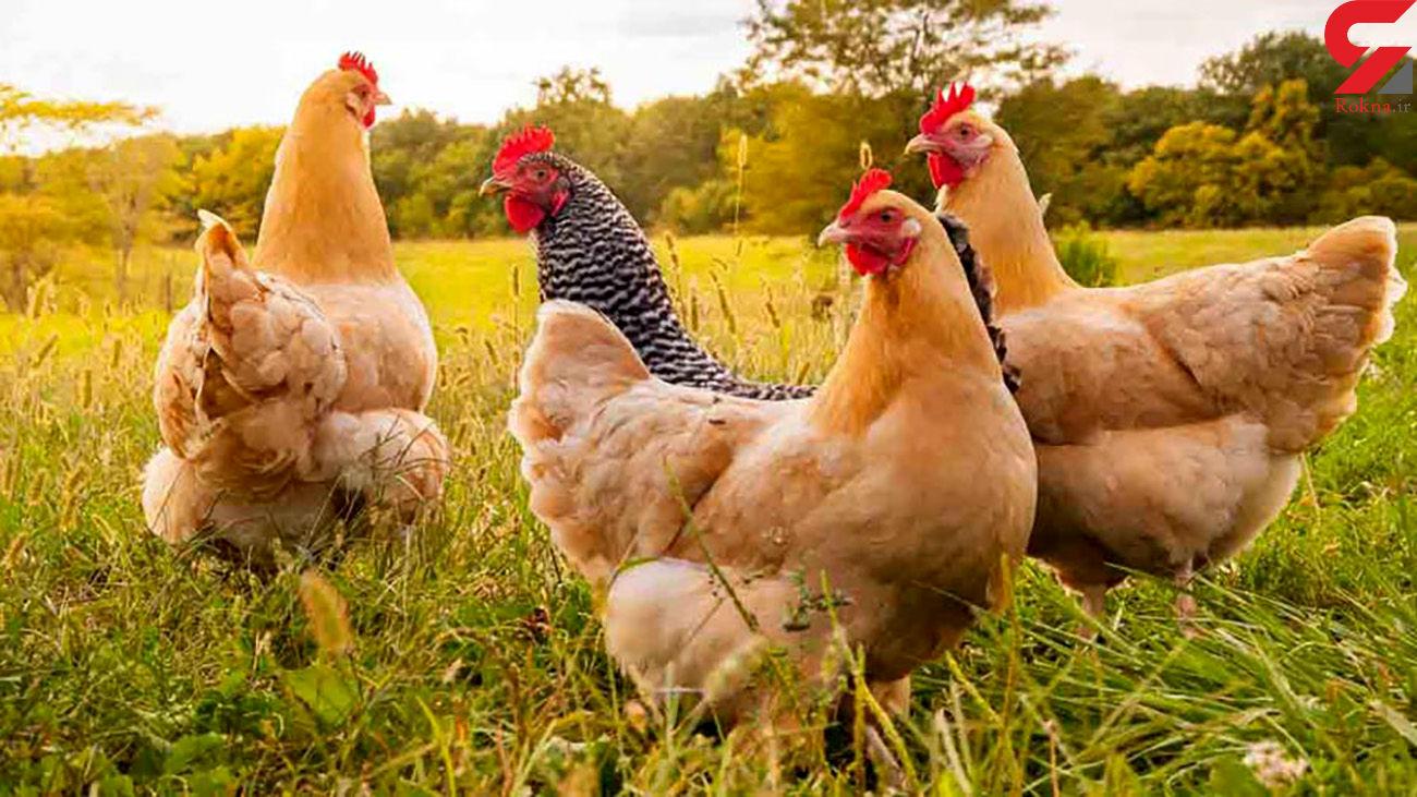 افزایش قیمت رسمی مرغ در راه است ؟ / تعیین قیمت مرغ روزانه شده است !