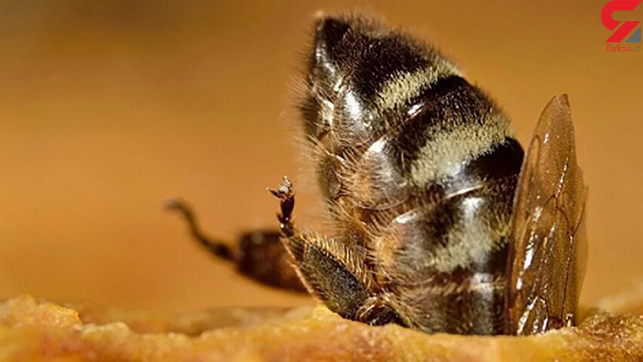 زنبورهای عسل هم دوز واکسن دریافت میکنند