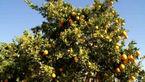 درختی عجیب که میوه اش الکل تولید می کند! +عکس و فیلم