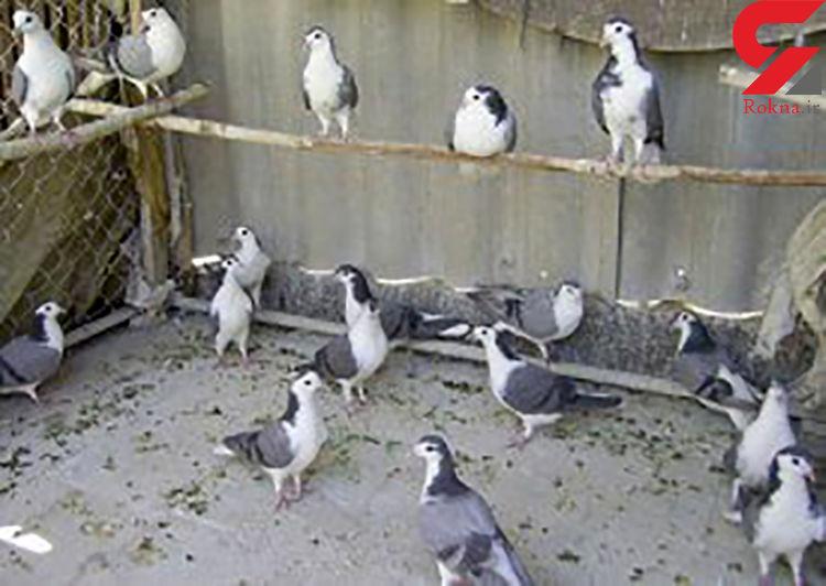 سارق کبوترهای زینتی دستگیر شد