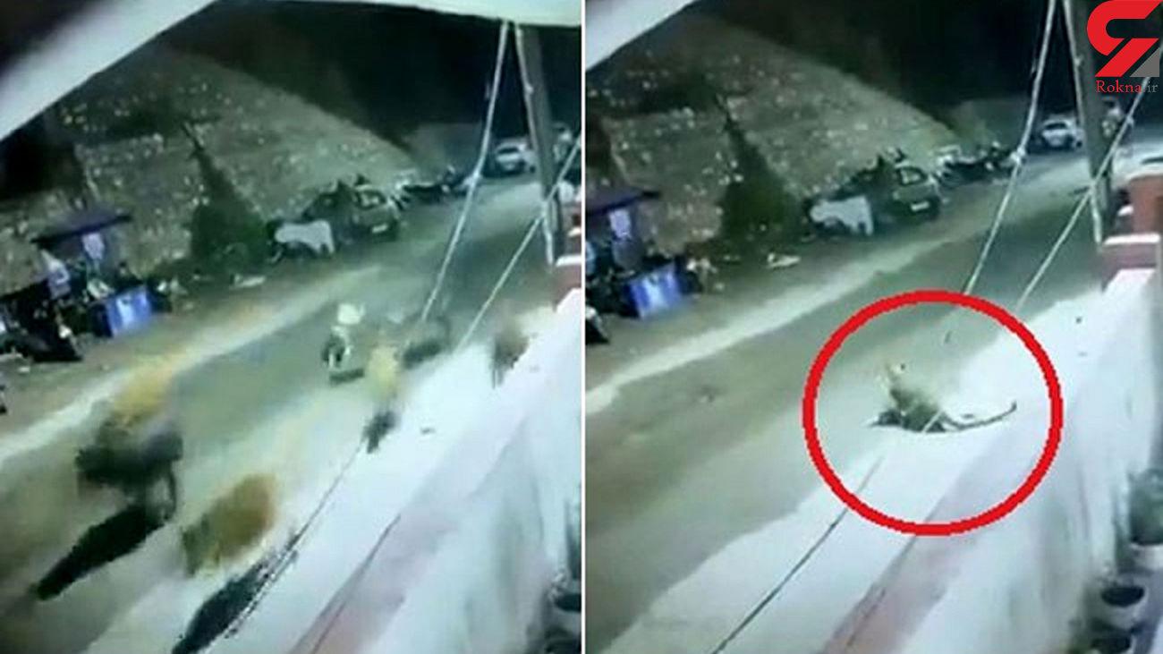 لحظه حمله پلنگ به گله گاو در مقابل پاسگاه پلیس! + فیلم / هند