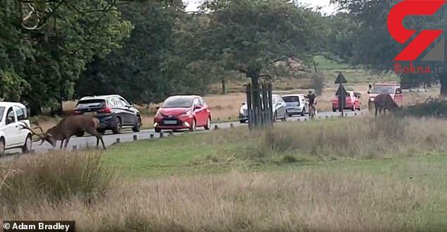 حمله گوزن نر به بازدید کنندگان پارک ریچموند